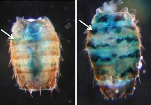 Чтобы организм был здоров и жил максимально долго, некоторые гены должны «молчать». С целью выяснить, снижают ли возрастные изменения способность подавлять активность таких генов, ученые использовали репортерные гены. Ткани, в клетки которых встроены репортерные гены, светятся синим. Мухе на снимке слева – 10 дней, справа – 50.