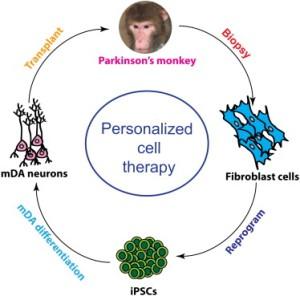 Индуцированные плюрипотентные стволовые клетки (iPSCs) открывают широкие перспективы развития персонализированной клеточной терапии. Ученые показали, что полученные из iPSCs аутологичные нейральные прогениторы выживают в течение 6 месяцев и дифференцируются в нейроны, астроциты и миелинизирующие олигодендроциты в мозге макак-резусов с искусственно индуцированной болезнью Паркинсона с минимальной воспалительной реакцией. Это открытие представляет собой большой шаг к персонализированной регенеративной терапии.