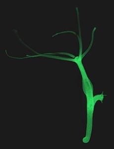 Пресноводная гидра, животное размером около 1  см, объект многочисленных научных исследований.
